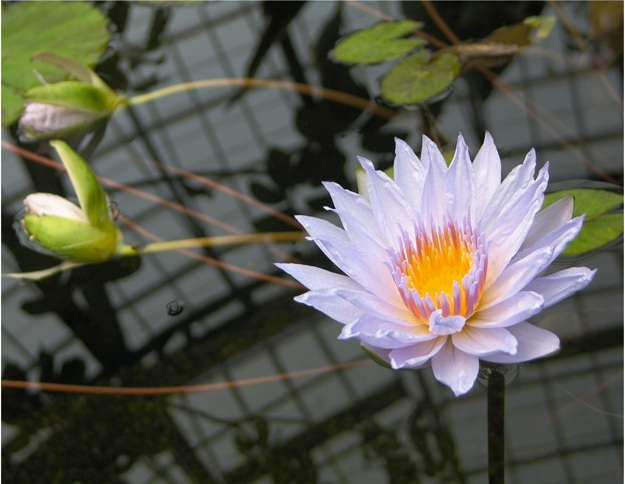 photograph of a water lily